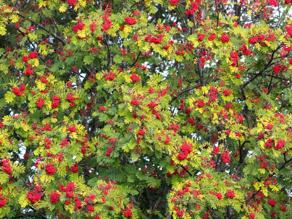 Lapponia_Finlandia_Svezia_Autunno_Foliage (25)