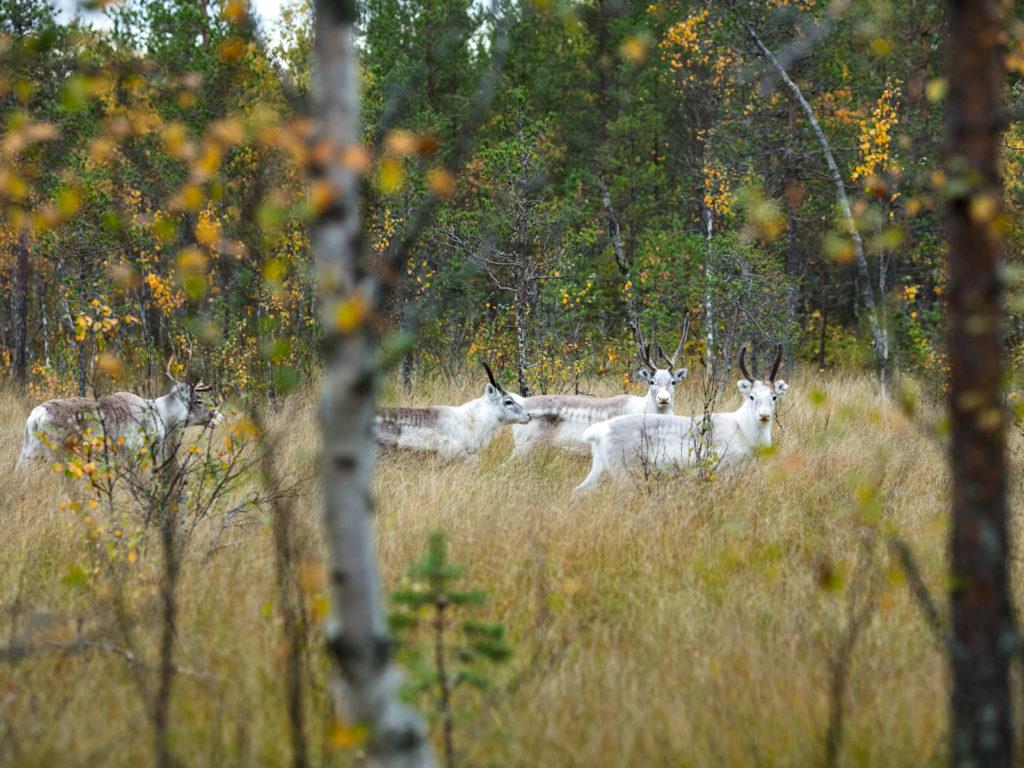 Lapponia_Finlandia_Svezia_Autunno_Foliage (50)